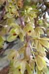 Cymbidium suave